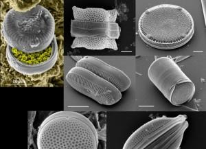 不同形状的硅藻